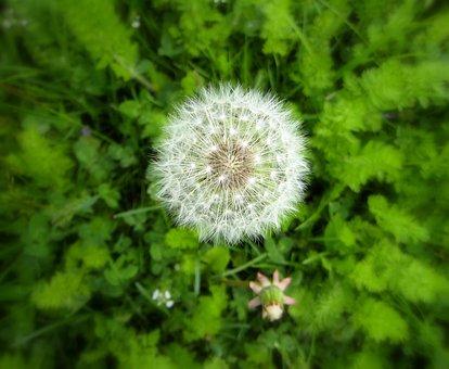 Dandelion, Weed, Flower, Puffy