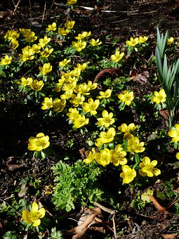 Winter Linge, Flower, Blossom, Bloom, Yellow