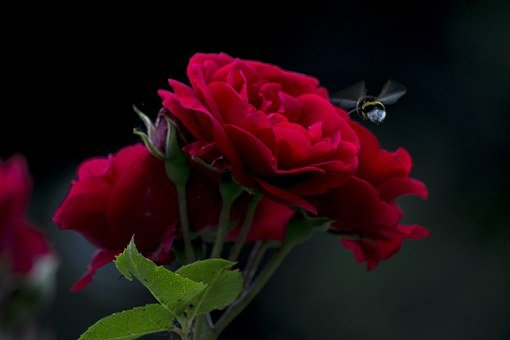 Rose, Bee, Fly, Spray, Dark, Black Background, Flower
