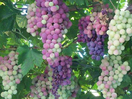 Grapes, Fruit, Wine, Sweet, Ripe, Vine, Grapevines