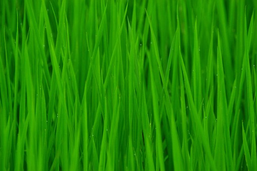 Green, In Rice Field, Clean