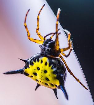 Spider, Arachnid, Insect, Close, Yellow, Exotic
