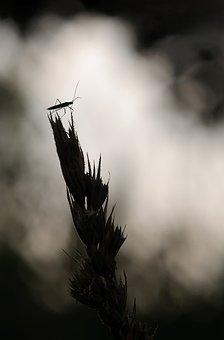 Large Grass Bug, Megaloceroea Recticornis, Lichtspiel