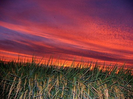 Taiwan, Sunset, In Rice Field, Pink Clouds