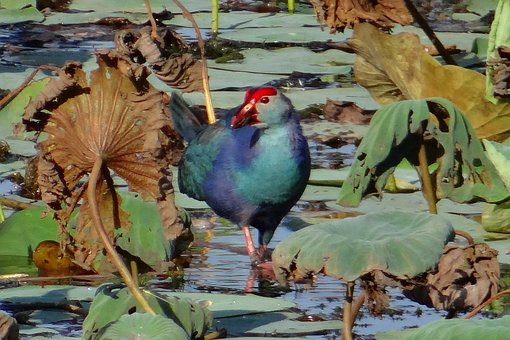 Purple Swamphen, Porphyrio Porphyrio, Purple Moorhen