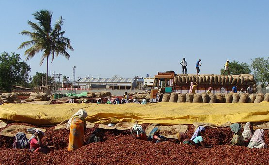 Red Chilli, Wholesale Market, Sorting, Transportation