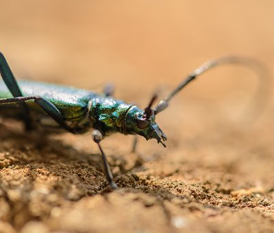 Musk Beetle, Aromia Moschata, Insects, Summer, Nature