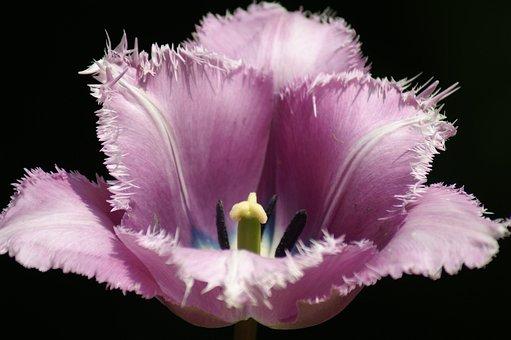 Tulips, Holland, Spring, Nature, Tulip, Keukenhof