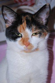 Cat, Sleepy, Animal, Red, White, Black, Cheesed-off
