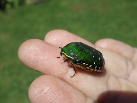 Green Beetle, Green June, Bug, Insect, Nature, Hand