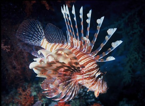 Lion, Fish, Water, Ocean, Sea, Lionfish, Colorful