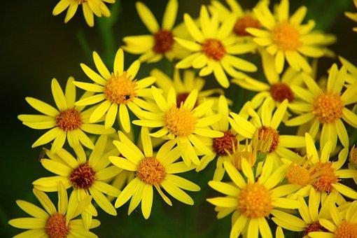Flower, Blooms Ragweed, Jacob Ragweed, Composites
