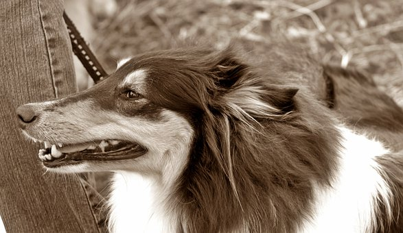 Dog, Long Haired Collie, Tricolor, Sepia, Port