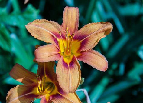 Lily, Orange, Flowers, Summer, Flower, Bloom, Sheet