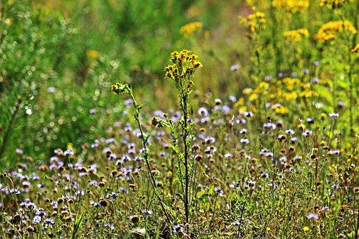 Flower, Blossom, Bloom, Ragwort, Jacob Ragweed