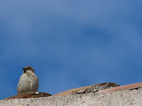 Sparrow, Roof, Sky, Observe, Lookout
