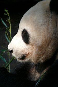 Zoo, San Diego, Animals, Panda, Mammals, Mammal