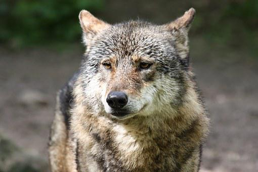 Mammal, Wolf, Nature, Wild Animal, Protected