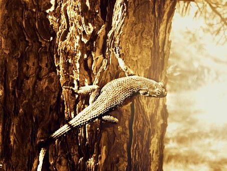 Lizard, Desert, Reptile, Animal, Nature, Wildlife, Wild