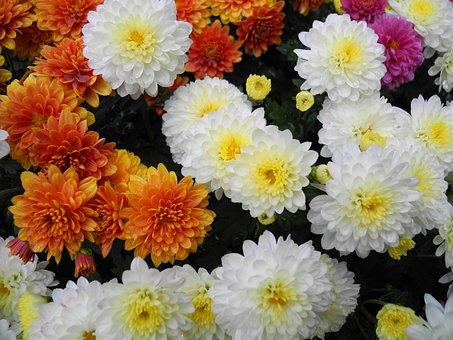 Flowers, Flower, White, Orange, Spring, Chryzanthemum
