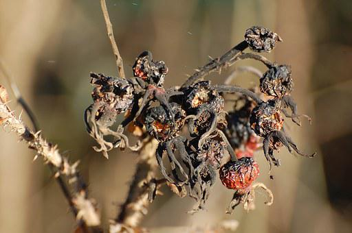 Rose Hip, Autumn, Death, Decay, Black, Red, Plant