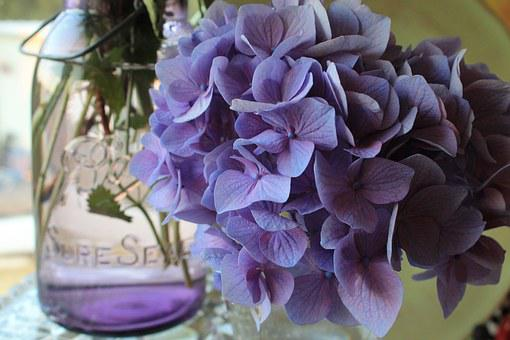 Canning Jar, Hydrangea, Flower, Purple, Flora, Colorful