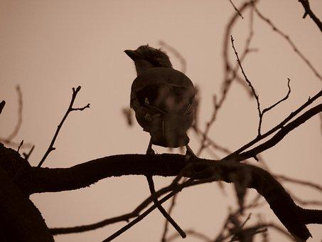 Jay, Garrulus Glandarius, Songbird, Raven Bird