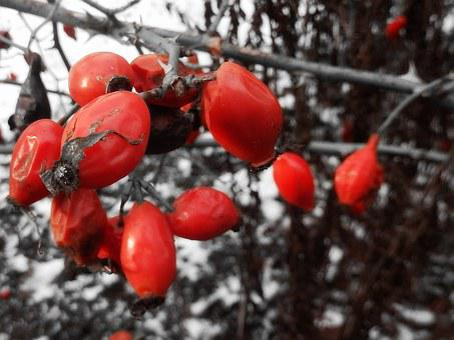 Rose Hip, Winter, Cold, Red, Bush, Nature, Wild Rose