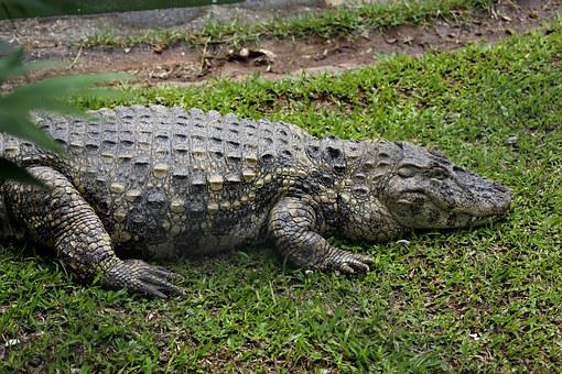 Sleeping Alligator, Alligator Açu, Reptile, Wild Animal