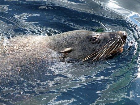 Robbe, Fur Seal Arctocephalinae