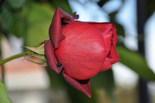 Roses, Red, Flower, Nature, Macro, Pink, Rose, Green