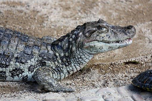 Sleeping Alligator, Reptile, Wild Animal, Of Profile