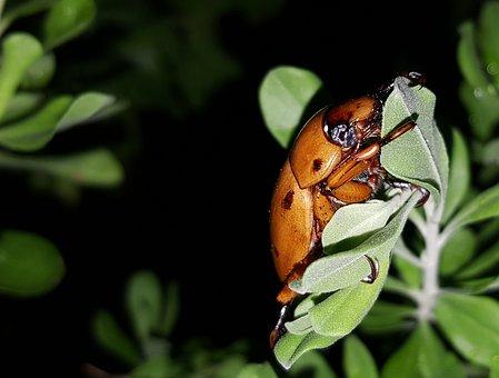 Beetle, Grapevine Beetle, Spotted June Beetle