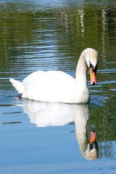 Swan, Mirror Image, Water Bird, Water, Lake