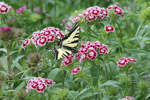 Sweet William, Flower, Flowers, Butterfly, Butter Fly
