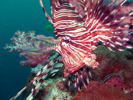 Diving, Lionfish, Under, Water, Southeast, Asia, So