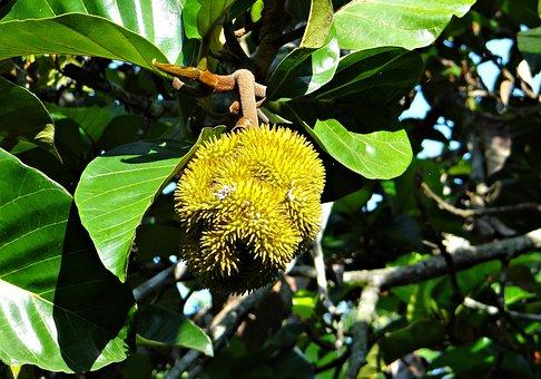 Wild Jack, Jungle Jack, Tree, Fruit