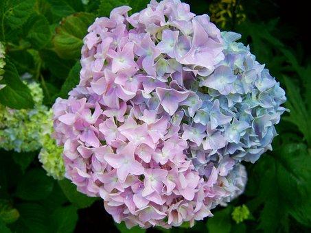 Hydrangea, A Bluish-purple Flower, Summer Flower Garden
