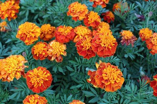 Flowers, Red, Blossom, Chrysanthemum, Full Blown