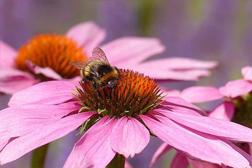 Animal, Insect, Hummel, Bombus Buerokratus, Flower