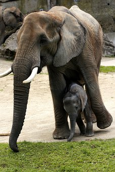 African Bush Elephant, Mother With Young