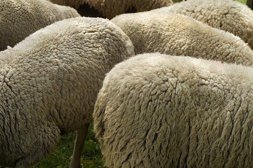Sheep Breeding, Wool, Fur, Sheepskin, Wool White, Soft