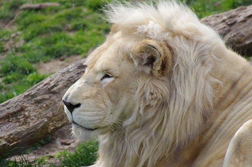 Lion, Philadelphia, Zoo, Big Cat, Wildlife, Cat, Animal