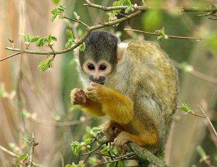 Capuchin, Monkey, Animal, Zoo, Cute, Cebus