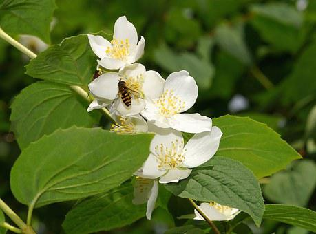 Bush, Leaves, Flowers, White, Plant, Nature, Insect