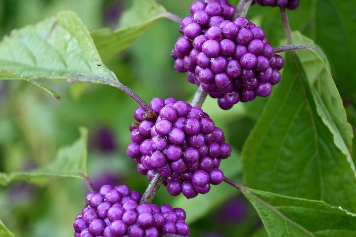 Purple, Plant, Beauty Berry, Callicarpa Fruit