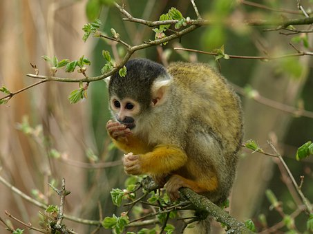 Capuchin, Monkey, Animal, Capuchins, Creature, Cebus