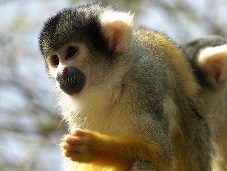 Capuchin, Capuchins, Monkey, Animal, Creature, Cute