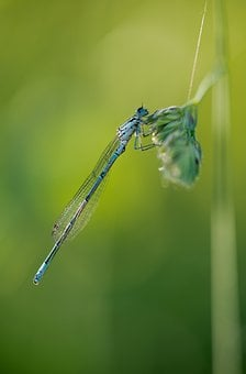 Slender Dragonfly, Dragonfly, Insect, Nature, Blue