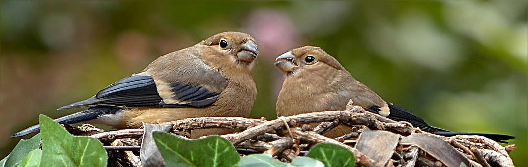 Animal, Bird, Gimpel, Bullfinch, Pyrrhula, Female